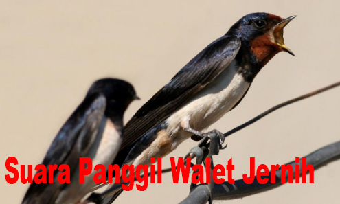 Download Suara panggil Walet Jernih